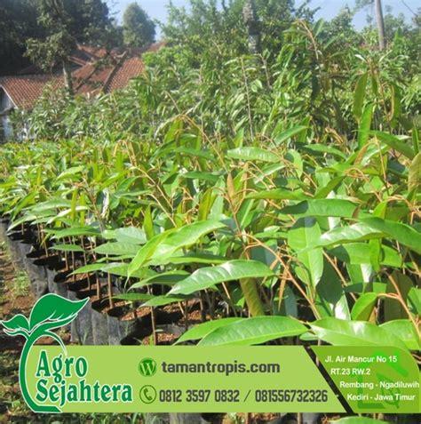 Bibit Durian Matahari Unggul jual bibit tanaman pohon siap kirim seluruh indonesia