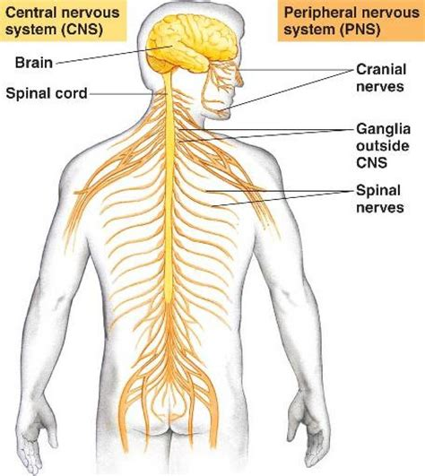 diagram of central and peripheral nervous system central nervous system diagram anatomy human