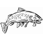 Trout Fish Jumping Black And White  Stock Photo Colourbox