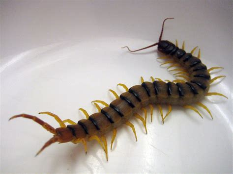centipede in my bathroom pest control birmingham al what is that strange creature