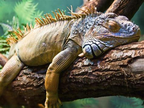 Iguana L fotos animales entra 241 ables iguana