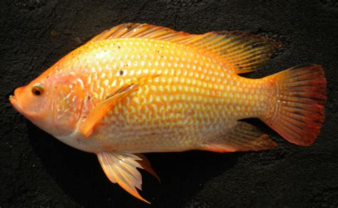 Bibit Ikan Nila tips memilih bibit dan induk ikan nila bibitikan net