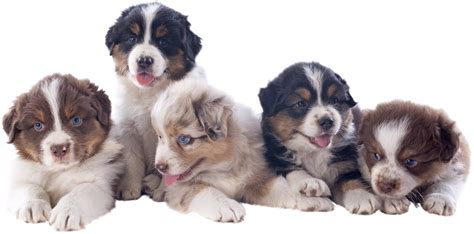 tucson puppies mini australian shepherd puppies available in tucson az