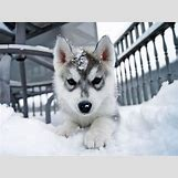 Cute Husky In Snow | 560 x 419 jpeg 39kB