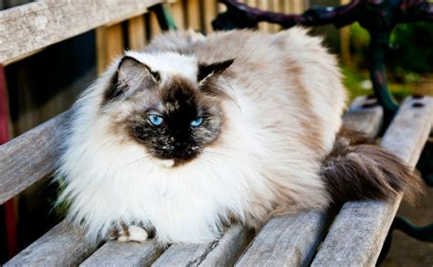 ragdoll cat lifespan ragdoll cats burke s backyard