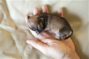 The smallest dog in the world 2014 x3cb x3ethe smallest dog x3c b x3e