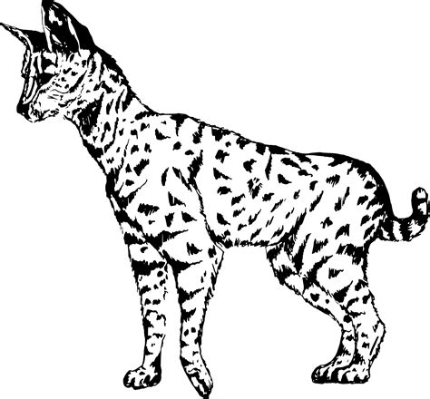 domain leopard image the graphics serval cat drawing vector clipart image free stock photo