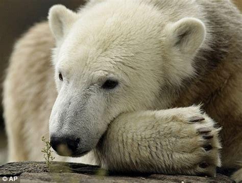 hand reared polar bear knut looks depressed in the rain