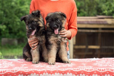where to get a german shepherd puppy 4 tips to get a german shepherd puppy to stop biting charming pup reviewing the