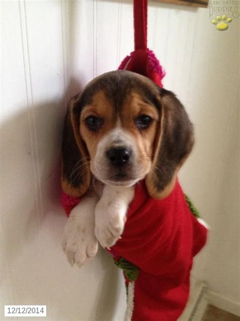 beagle puppies for sale in pa beagle puppy for sale in pennsylvania beagles beagle pennsylvania and