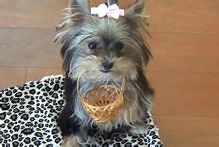 world s smartest yorkie 1000 images about cool inspiring on times cutest puppy and