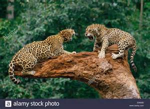 Jaguar Fighting Related Keywords Suggestions For Jaguars Fighting