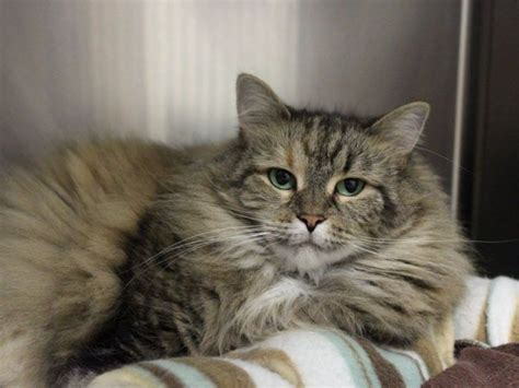 buddy sudbury ma want to adopt a cat check out these purr fect pals from buddy humane society