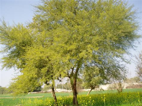 tree of panoramio photo of tree of kikar