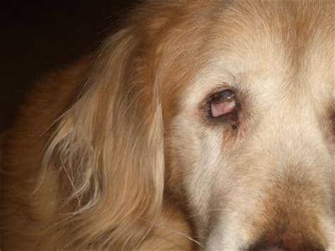 golden retriever problems golden retriever eye problem