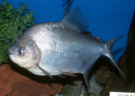 pacu fish aquarium fish fish