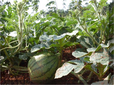 Benih Wortel Dari Cina teknik dan cara menanam semangka cara menanam dan teknik