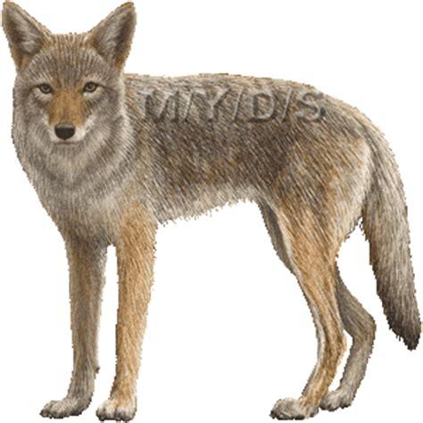 coyote clipart top 73 coyote clip free clipart spot
