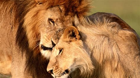 lion wallpaper pinterest african lion homepage 187 lion 187 african lion 187 hd