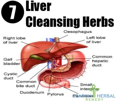 Liver Detox Herbal Remedy by 7 Liver Cleansing Herbs Liver Cleanse Herbs Search