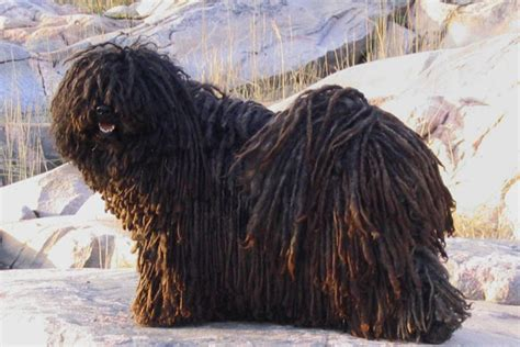 puli puppies for sale puli puppies for sale from reputable breeders