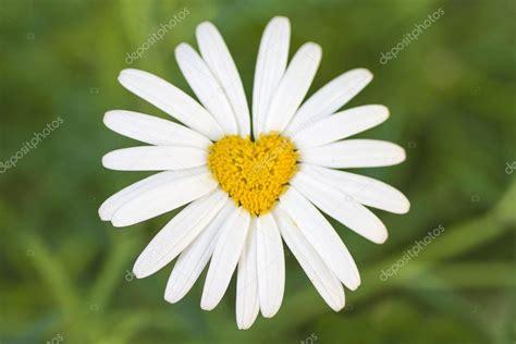 fiore a forma di cuore fiore di margherita a forma di cuore foto stock 169 watman