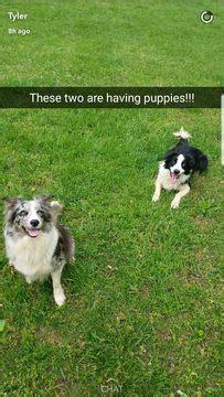 border collie puppies for sale in tn 25 best ideas about collie puppies for sale on collies for sale sheltie