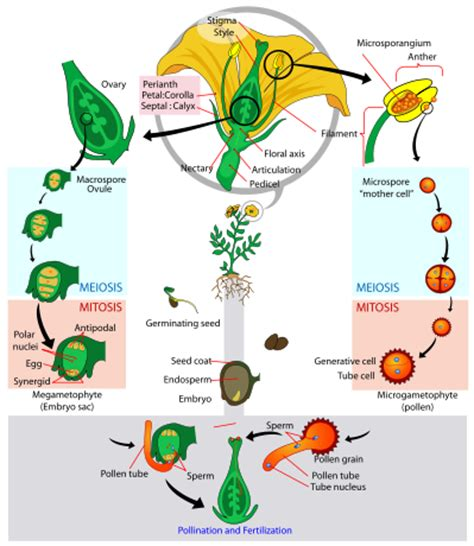 life cycle of flowering plant 10th biology lesson 16 3