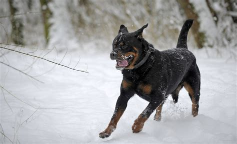 rottweiler wallpapers rottweiler wallpapers pictures images