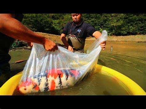 Benih Ikan Koi Sukabumi budidaya koi dan komet pbc fish farm sukabumi funnycat tv