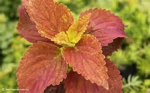 coleus pictures coleus plant pictures plant pictures