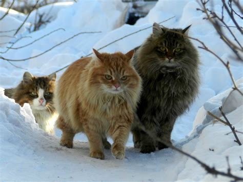 The Largest Cat Breeds   LifePlunge