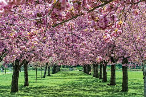 Botanical Garden Cherry Blossom Botanic Garden Cherry Blossoms Unscathed By Snow Prospect Heights New York Dnainfo