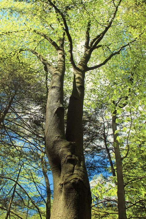 beech tree planting types of beech trees for the landscape