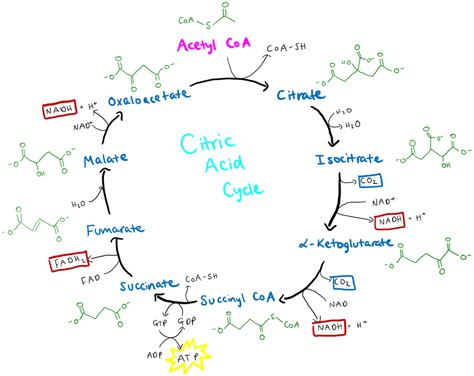 acid diagram file citric acid cycle diagram png wikimedia commons
