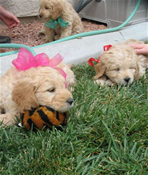 mini goldendoodles las vegas mini goldendoodle puppy available las vegas breeds