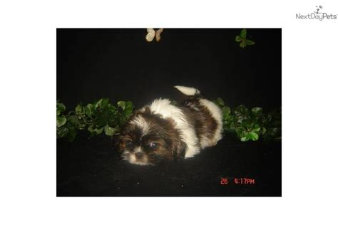 shih tzu for sale ny shih tzu puppy for sale near island new york