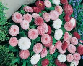 Benihbijibibit Bunga Lavatera Pastel Mix september 2014 jual bibit bunga murah