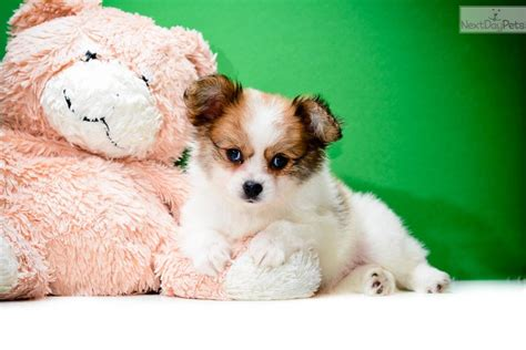 papillon puppies for sale papillon puppies for sale