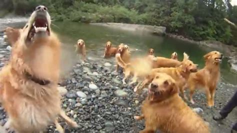 golden retriever vancouver dogs day out 13 golden retrievers make splash in nanaimo river ctv vancouver