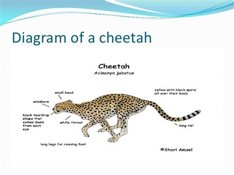 cheetah food chain diagram cheetahs