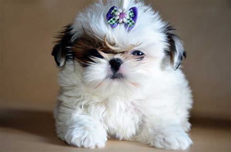 how to care for a shih tzu do you a shih tzu puppy how to take care of it