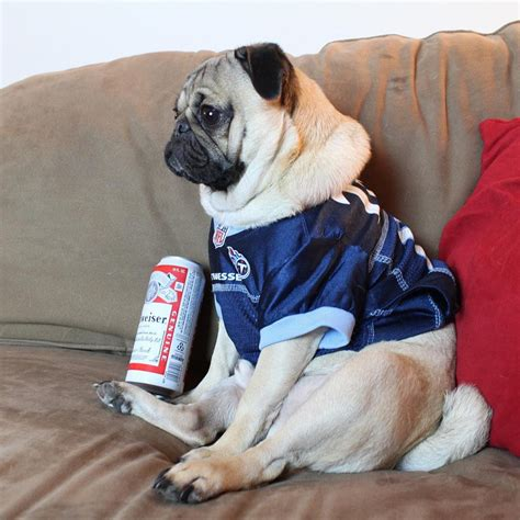 pug status doug the pug on quot i pretend to understand football for the free wings and