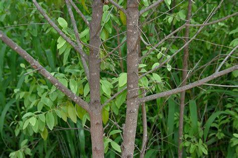 Jual Bibit Pohon Cendana Tangerang gambar tanaman penghasil minyak atsiri terbanyak cengkeh mengandung gambar flora cendana di