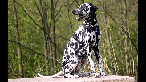 why are dalmatians dogs dalmatian learning wizscience