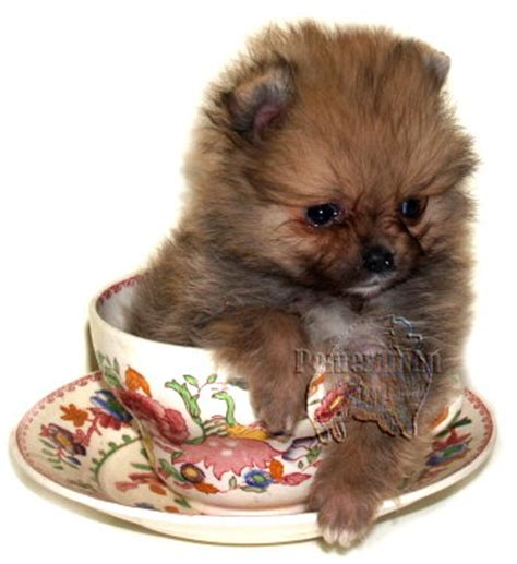 how big are teacup pomeranians teacup pomeranians