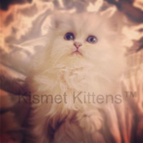 Saleeee New Ready 409 1 for sale ex ex small teacup silver chinchilla shaded kittens with blue green