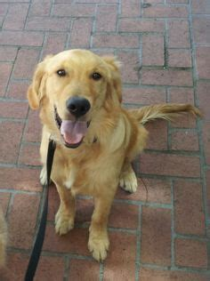 golden retriever rescue kentucky this is 7 yrs he was used as a breeder he is learning to live inside a