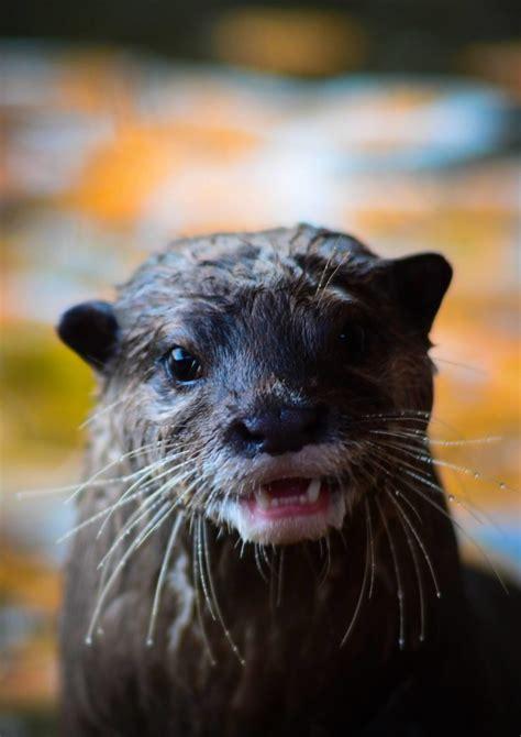asian small clawed otter animal world  snake farm