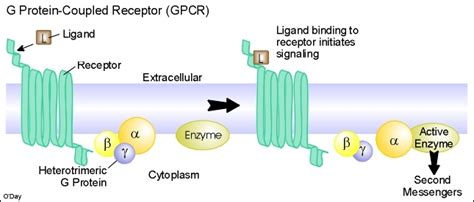 g protein coupled receptors animation g protein coupled receptors teaching biology